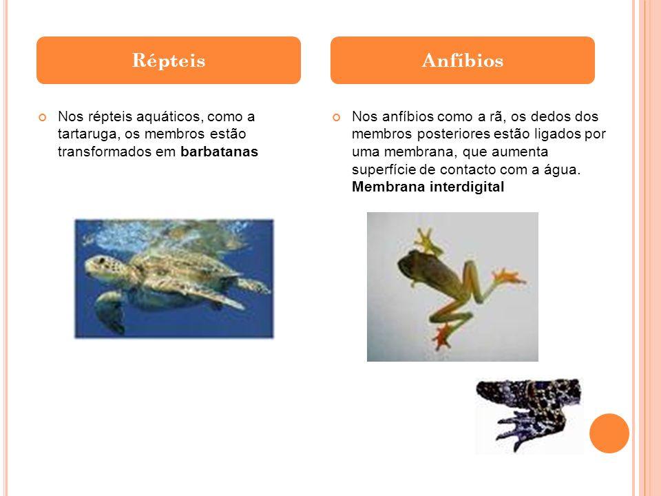 Répteis Anfíbios. Nos répteis aquáticos, como a tartaruga, os membros estão transformados em barbatanas.