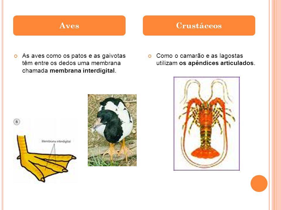 Aves Crustáceos. As aves como os patos e as gaivotas têm entre os dedos uma membrana chamada membrana interdigital.