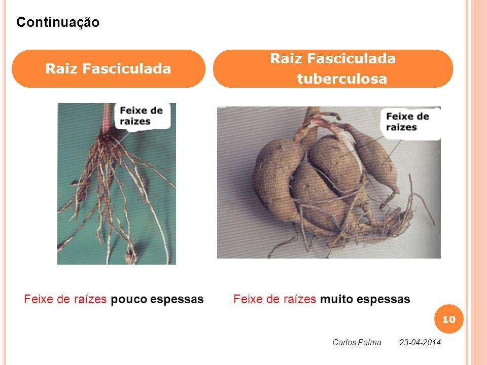 Raiz Fasciculada Raiz Fasciculada tuberculosa