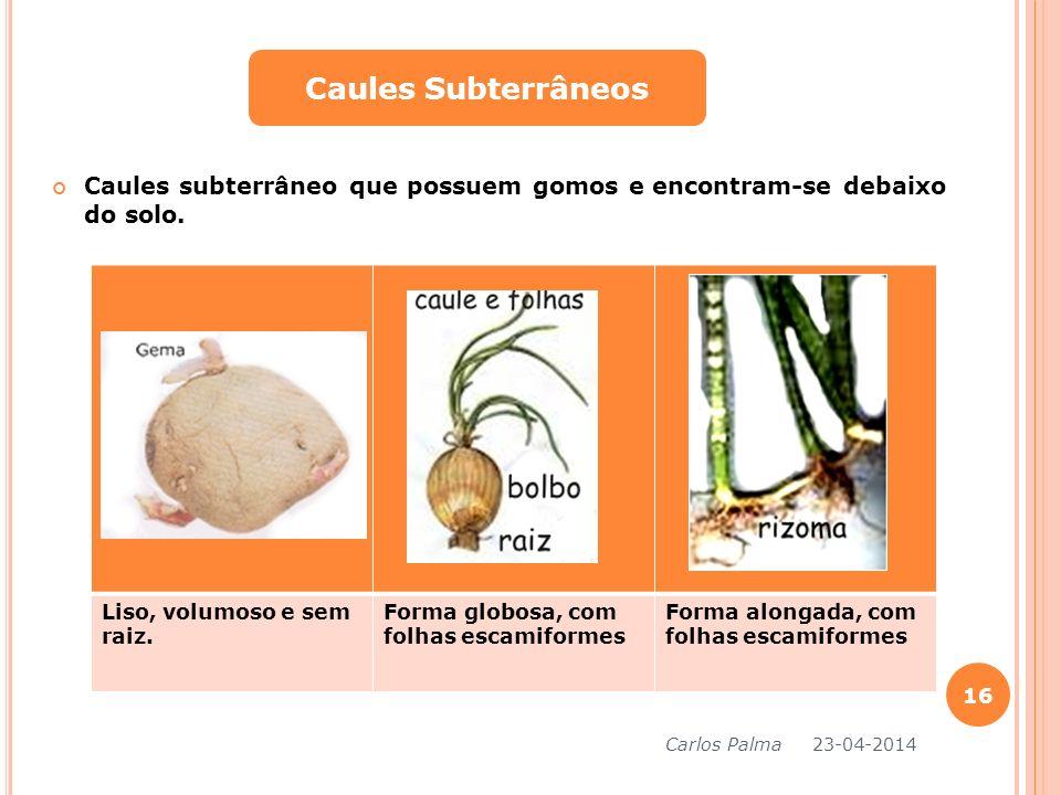 Caules Subterrâneos Caules subterrâneo que possuem gomos e encontram-se debaixo do solo. Liso, volumoso e sem raiz.