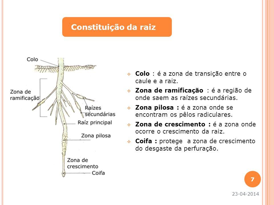 Constituição da raiz Colo : é a zona de transição entre o caule e a raiz. Zona de ramificação : é a região de onde saem as raízes secundárias.
