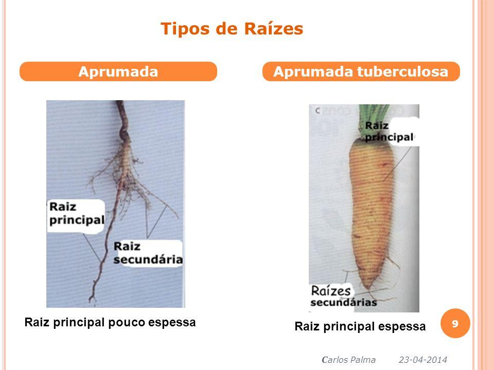 Tipos de Raízes Aprumada Aprumada tuberculosa