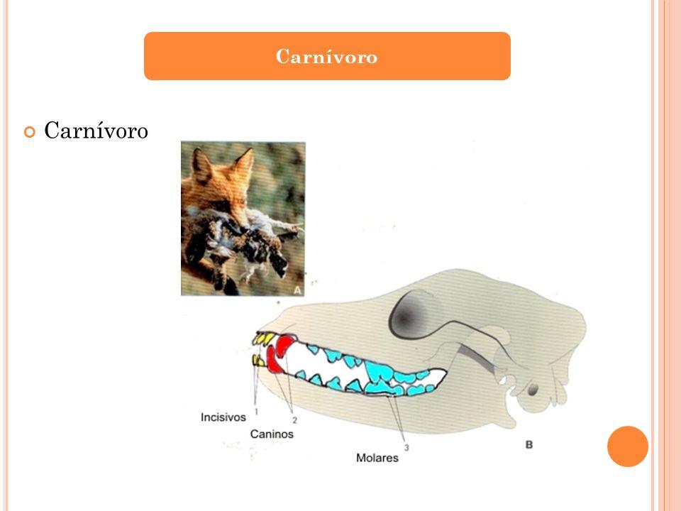 Carnívoro Carnívoro