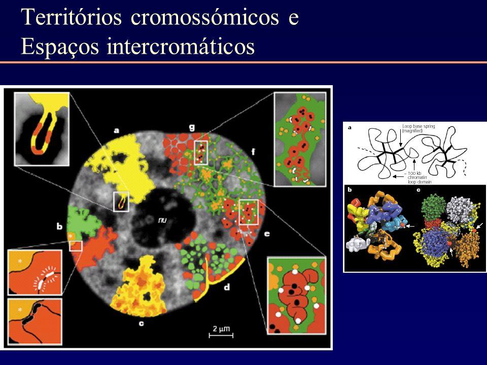 Territórios cromossómicos e Espaços intercromáticos
