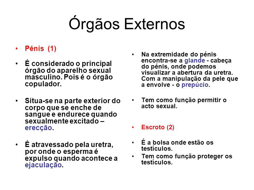 Órgãos Externos Pénis (1)