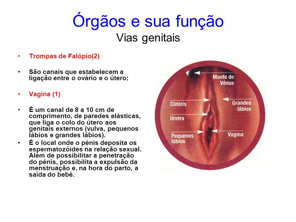 Órgãos e sua função Vias genitais