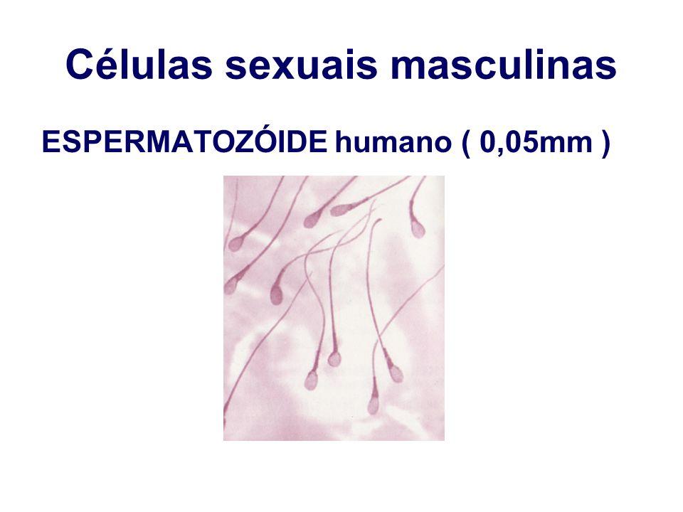 Células sexuais masculinas