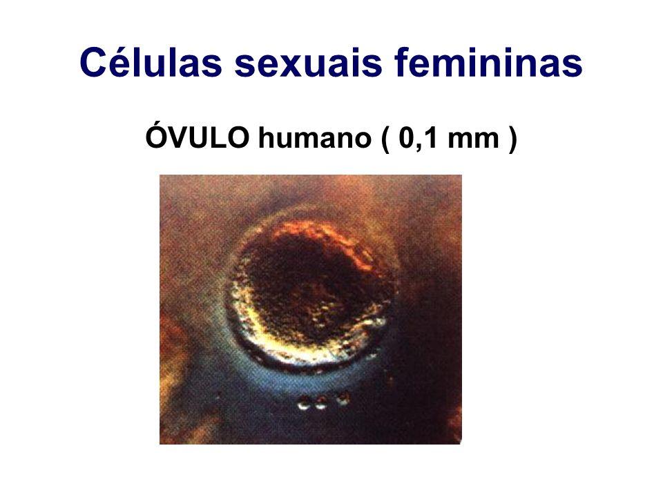 Células sexuais femininas
