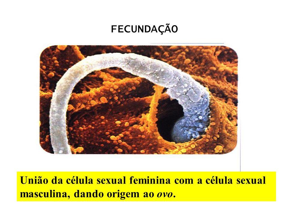 FECUNDAÇÃO União da célula sexual feminina com a célula sexual masculina, dando origem ao ovo.