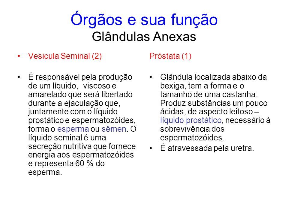 Órgãos e sua função Glândulas Anexas