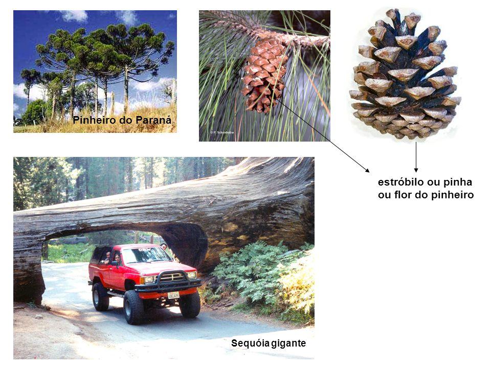 Pinheiro do Paraná estróbilo ou pinha ou flor do pinheiro