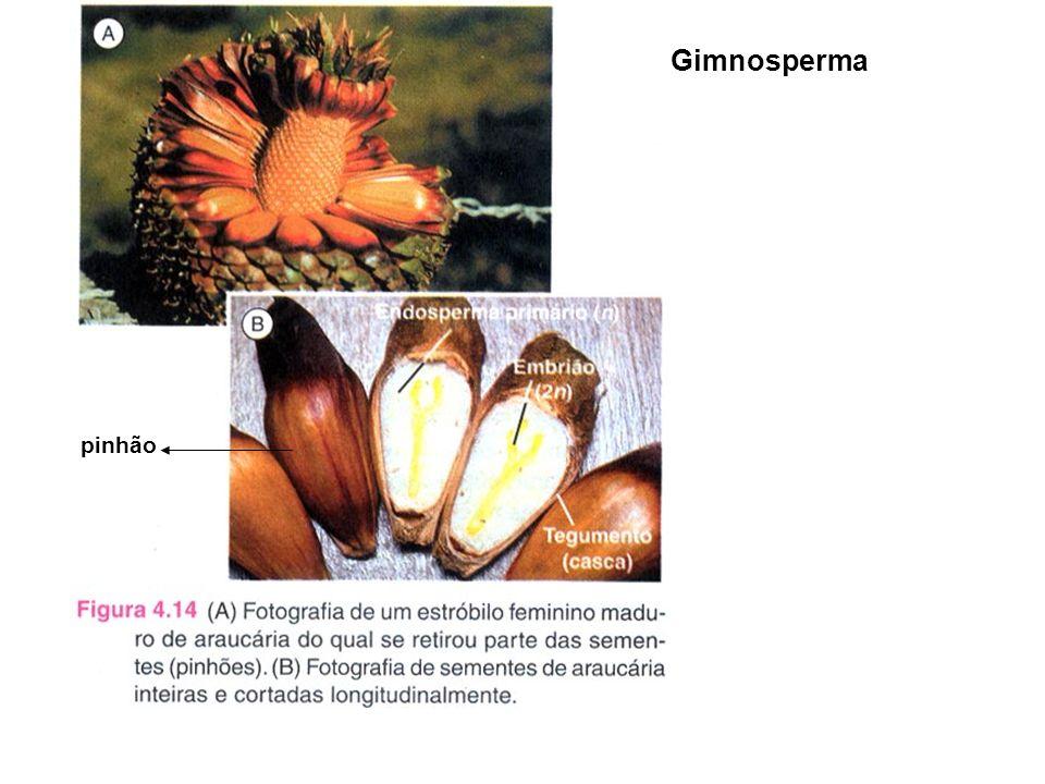 Gimnosperma pinhão