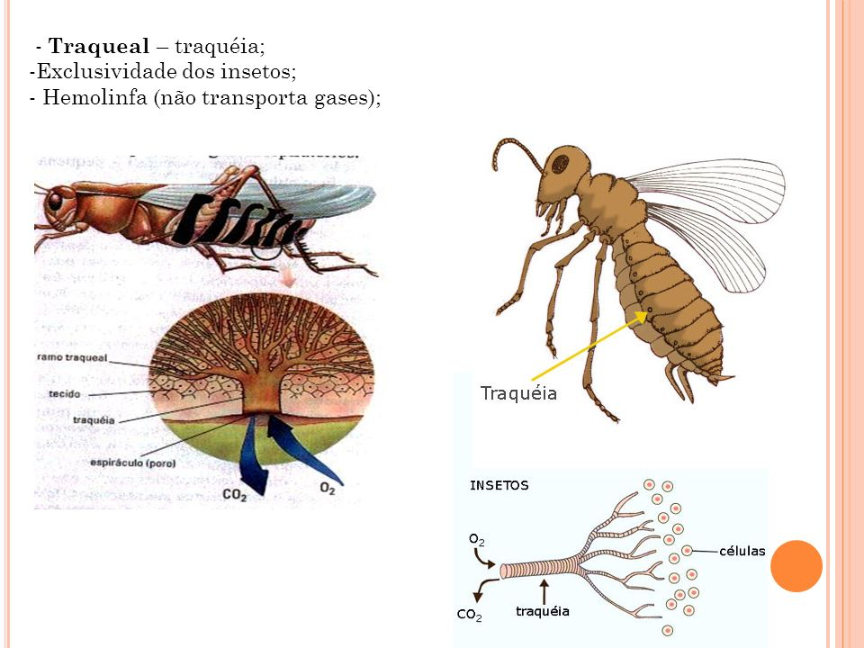 - Traqueal – traquéia; Exclusividade dos insetos; Hemolinfa (não transporta gases);