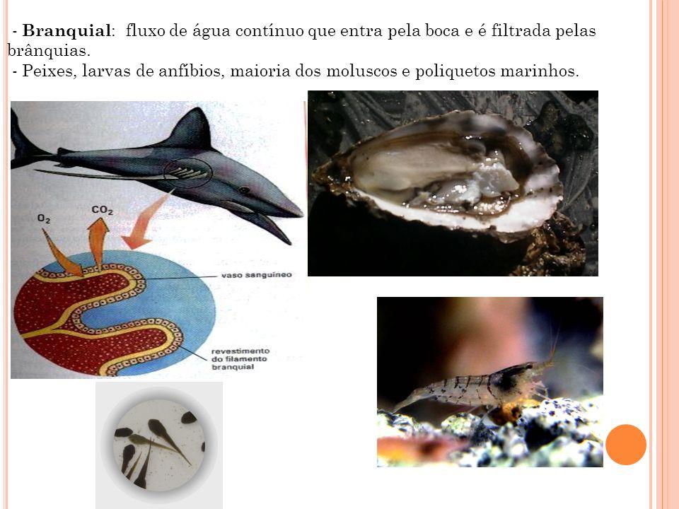 - Branquial: fluxo de água contínuo que entra pela boca e é filtrada pelas brânquias.