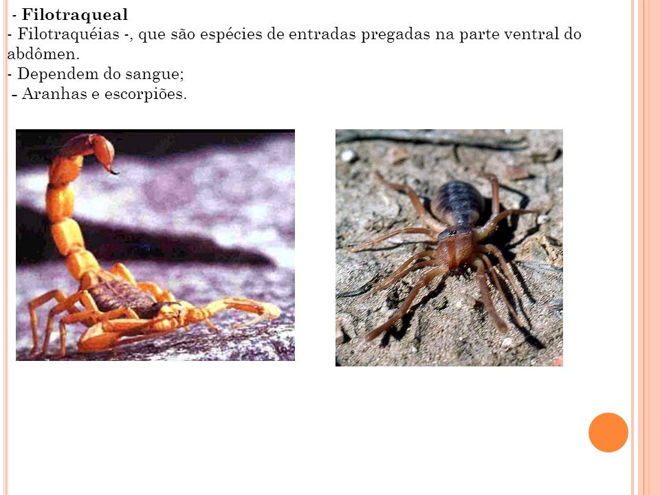 - Filotraqueal - Filotraquéias -, que são espécies de entradas pregadas na parte ventral do abdômen.