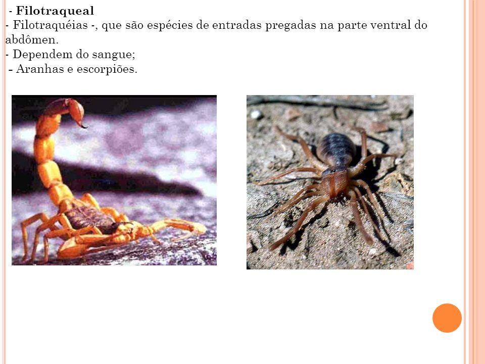 - Filotraqueal- Filotraquéias -, que são espécies de entradas pregadas na parte ventral do abdômen.