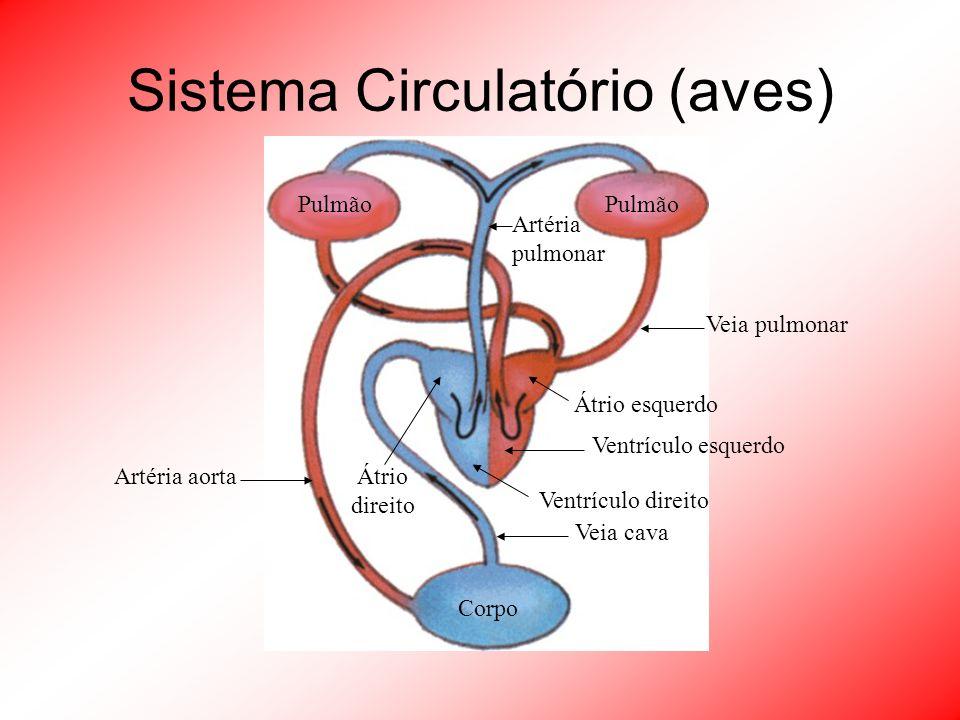 Sistema Circulatório (aves)