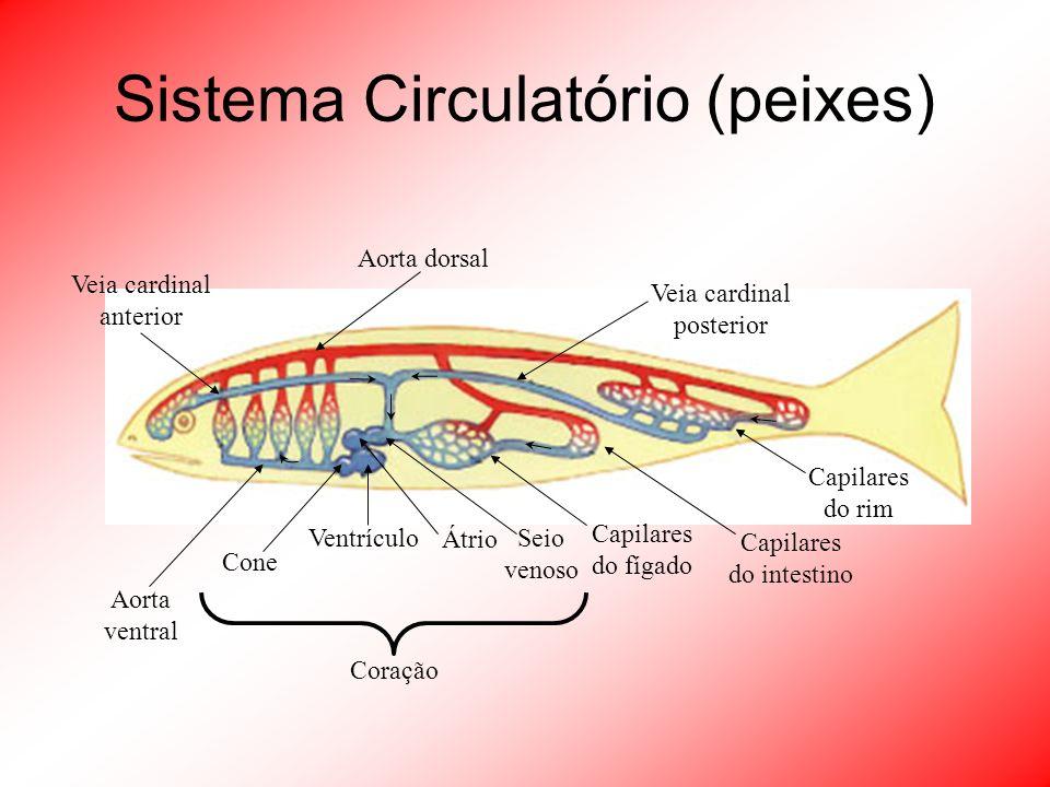 Sistema Circulatório (peixes)