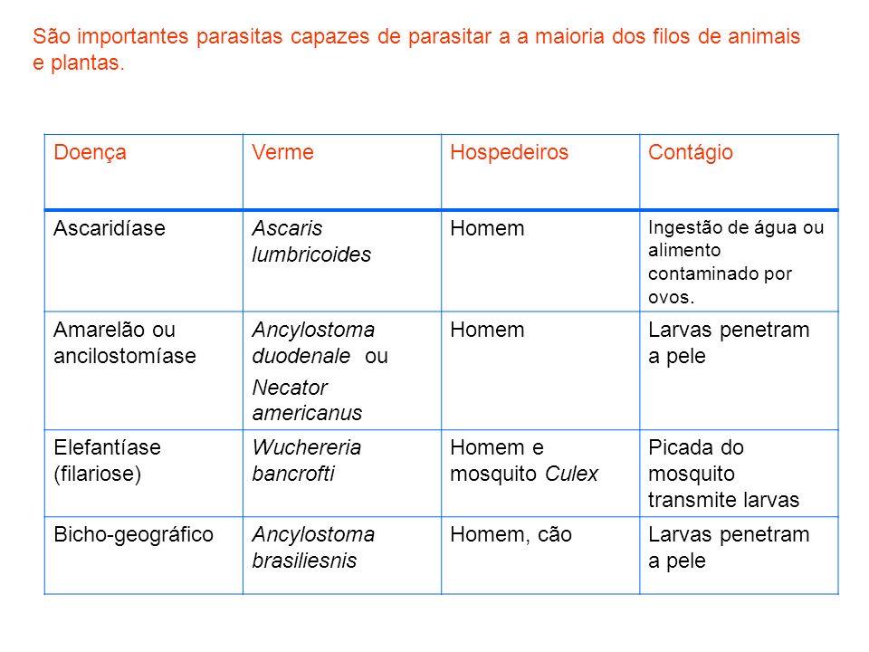 Amarelão ou ancilostomíase Ancylostoma duodenale ou Necator americanus