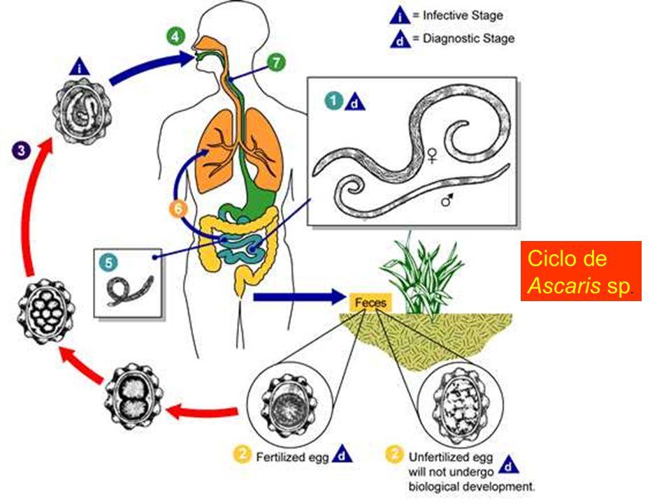 Ciclo de Ascaris sp.