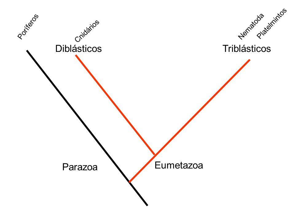 Diblásticos Triblásticos Parazoa Eumetazoa Platelmintos Poríferos