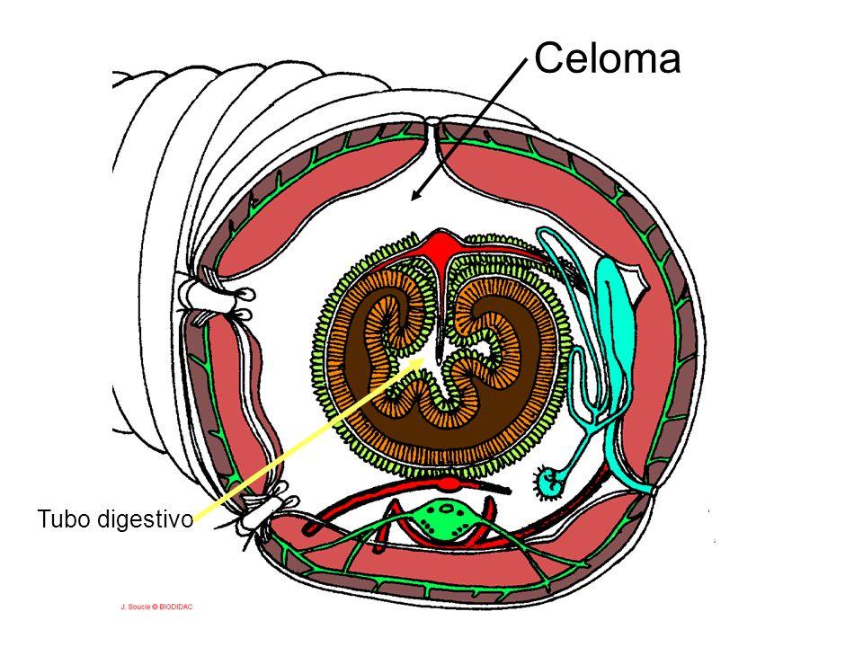 Celoma Tubo digestivo