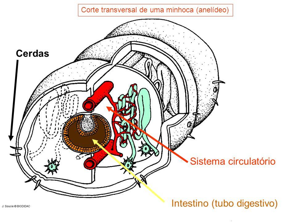 Intestino (tubo digestivo)