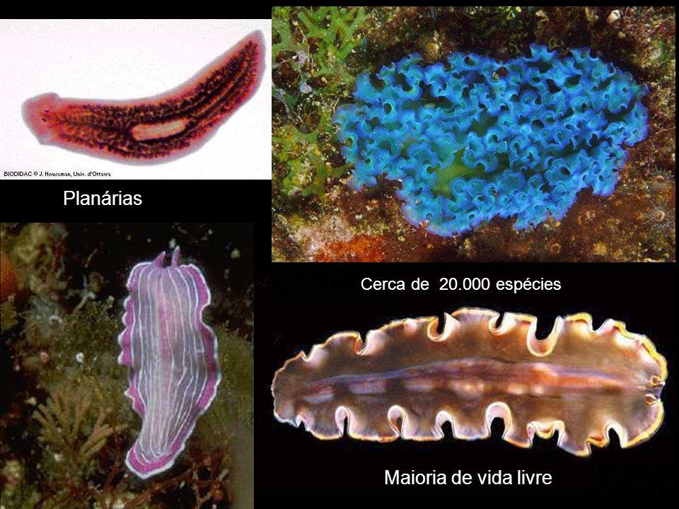 Planárias Cerca de 20.000 espécies Maioria de vida livre