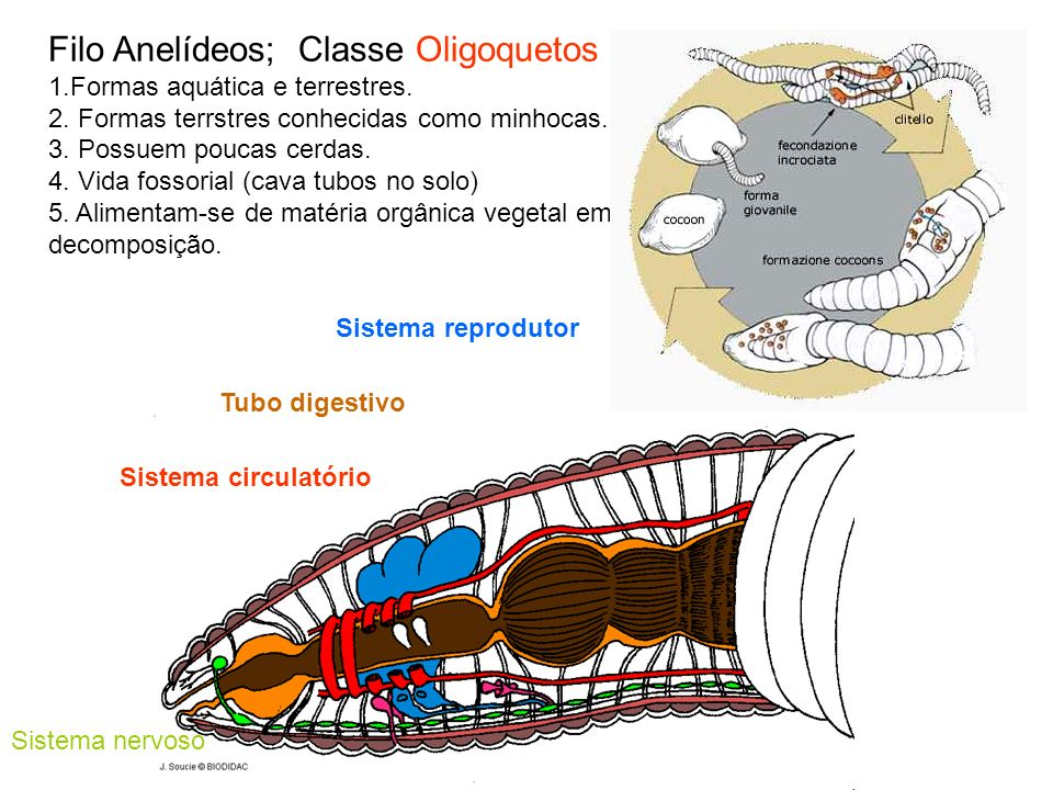 Filo Anelídeos; Classe Oligoquetos