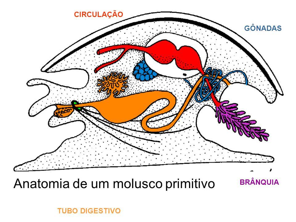 Anatomia de um molusco primitivo