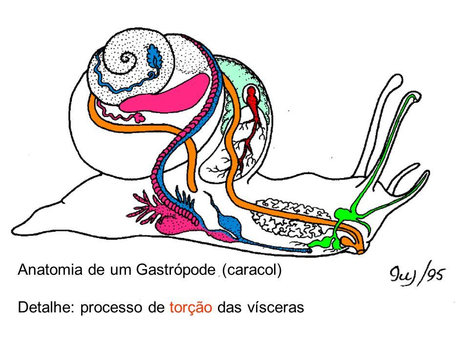 Anatomia de um Gastrópode (caracol)