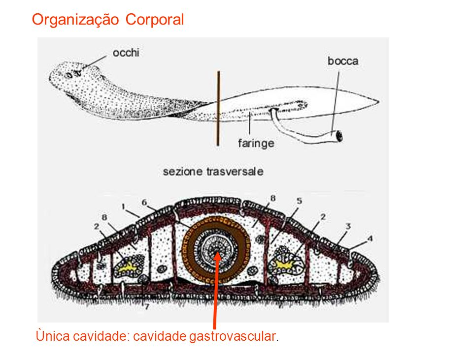 Organização Corporal Ùnica cavidade: cavidade gastrovascular.