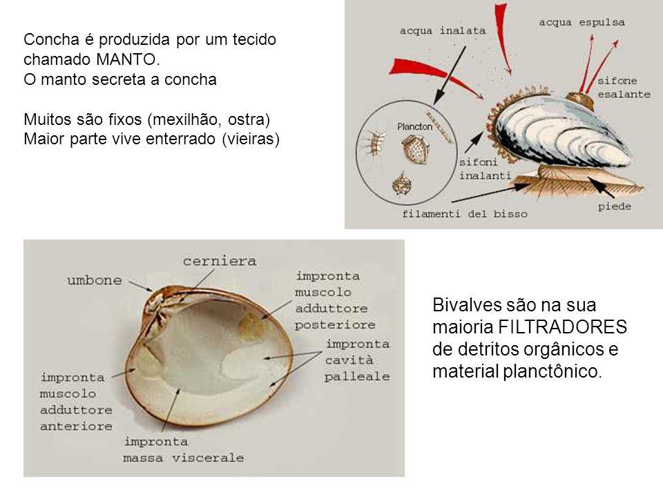 Concha é produzida por um tecido chamado MANTO.