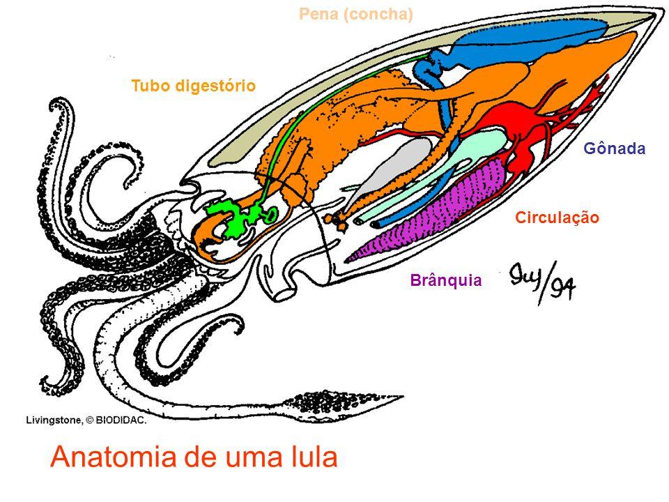 Anatomia de uma lula Pena (concha) Tubo digestório Gônada Circulação