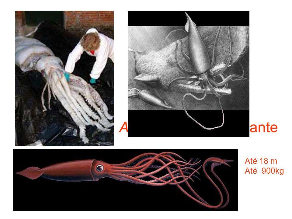 Architheutis: lula gigante