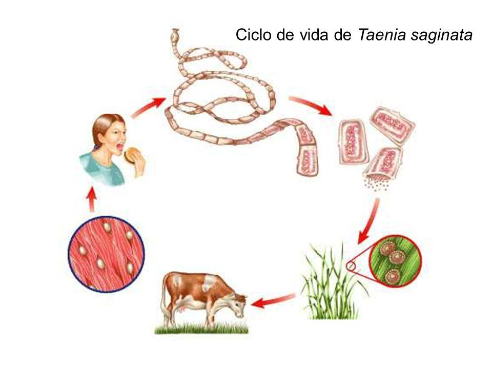Ciclo de vida de Taenia saginata