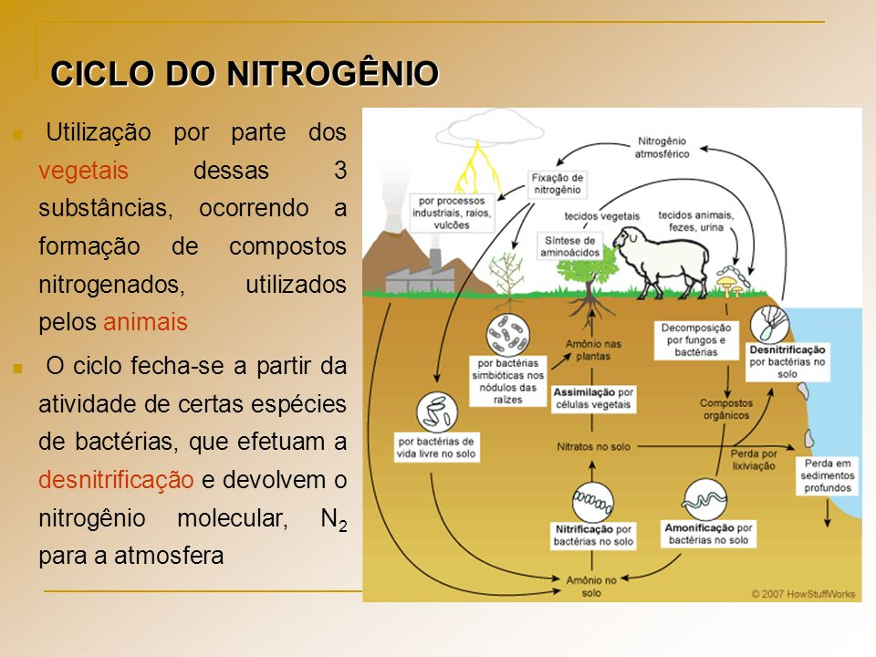 CICLO DO NITROGÊNIO Utilização por parte dos vegetais dessas 3 substâncias, ocorrendo a formação de compostos nitrogenados, utilizados pelos animais.