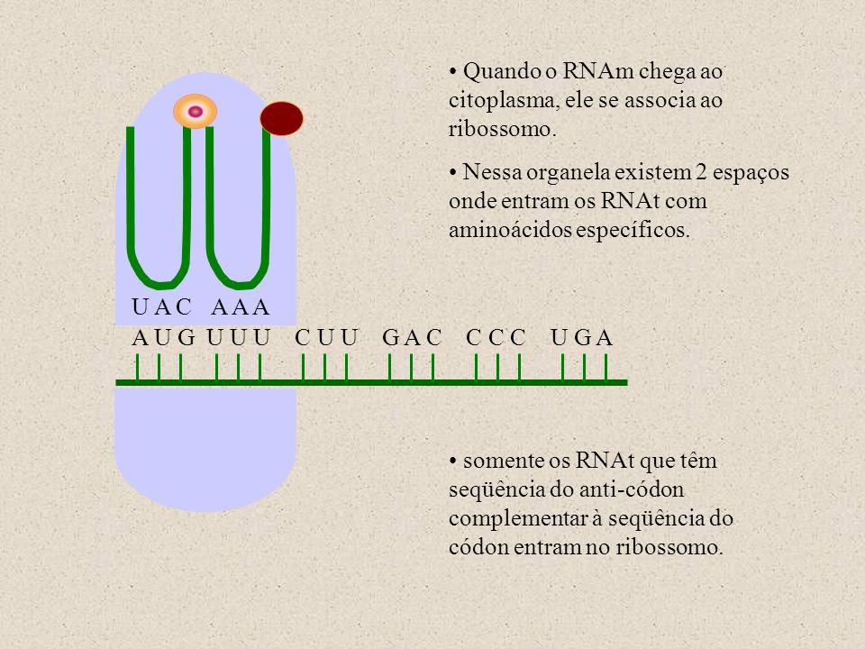 Quando o RNAm chega ao citoplasma, ele se associa ao ribossomo.