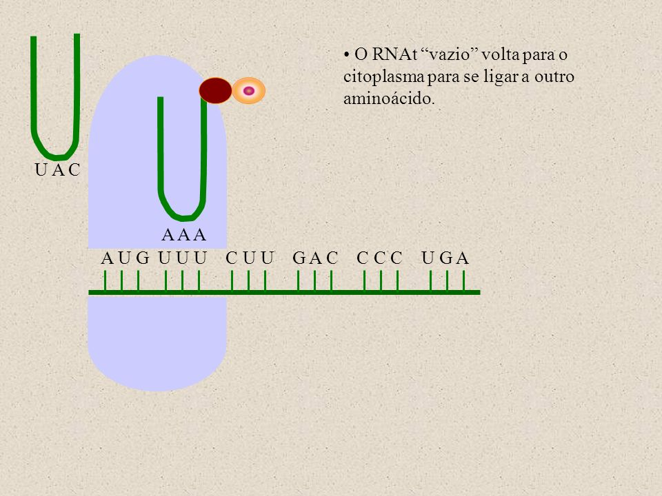 O RNAt vazio volta para o citoplasma para se ligar a outro aminoácido.