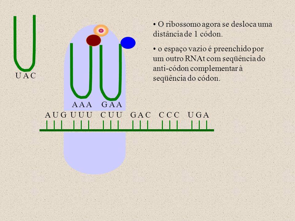 O ribossomo agora se desloca uma distância de 1 códon.