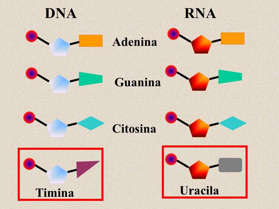 DNA RNA Adenina Guanina Citosina Uracila Timina