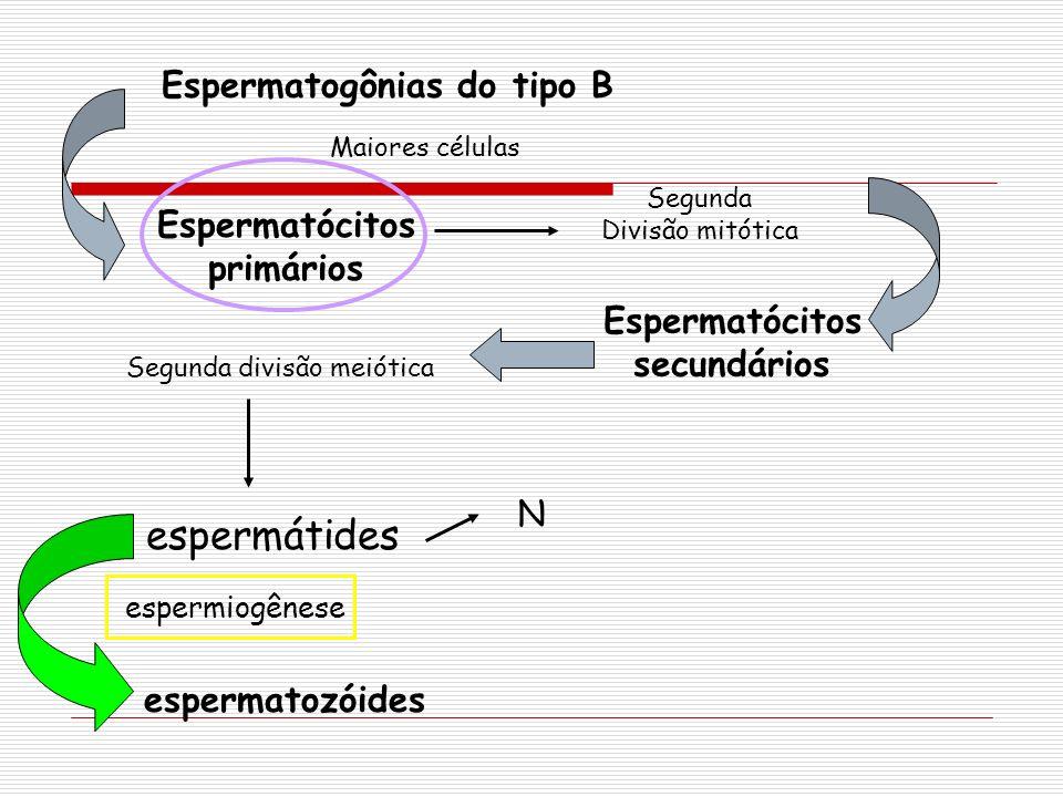 espermátides Espermatogônias do tipo B Espermatócitos primários