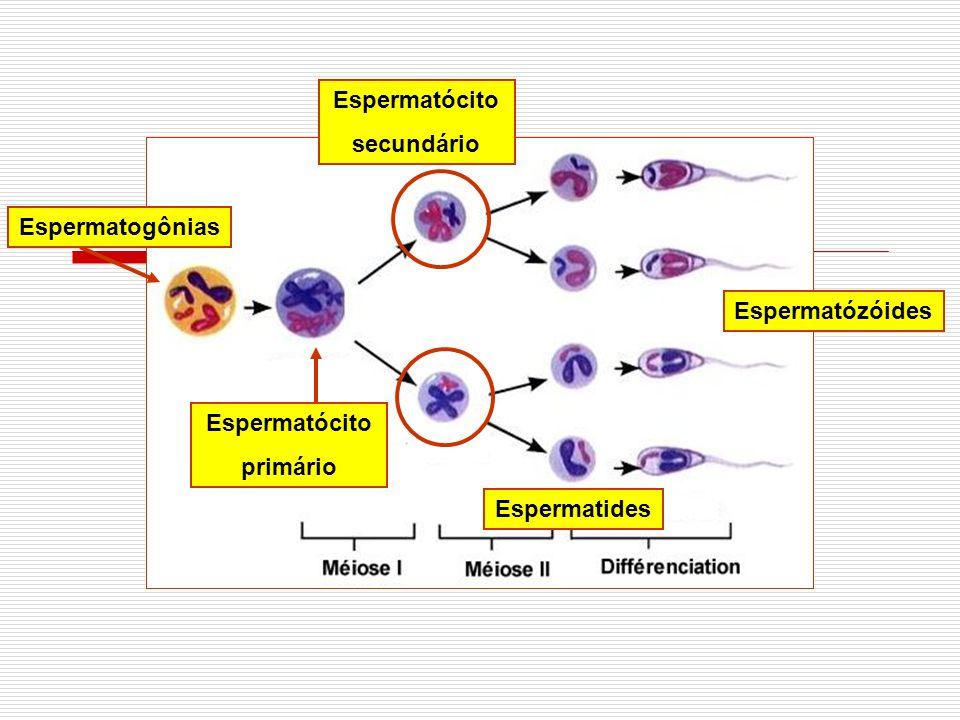 Espermatócito secundário Espermatogônias Espermatózóides Espermatócito primário Espermatides