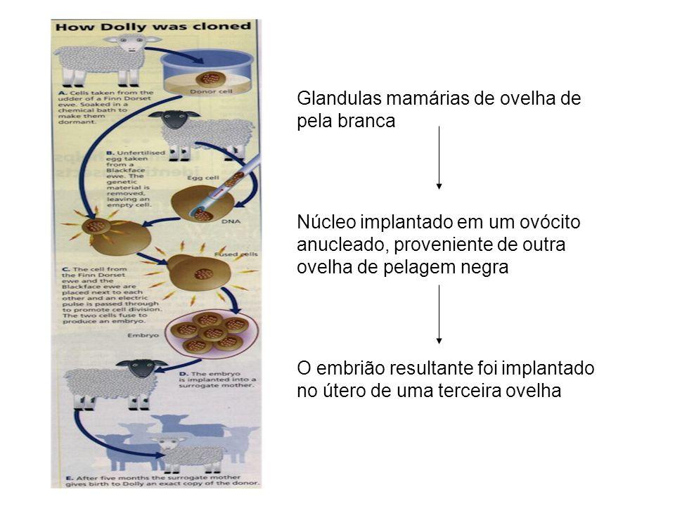 Glandulas mamárias de ovelha de pela branca