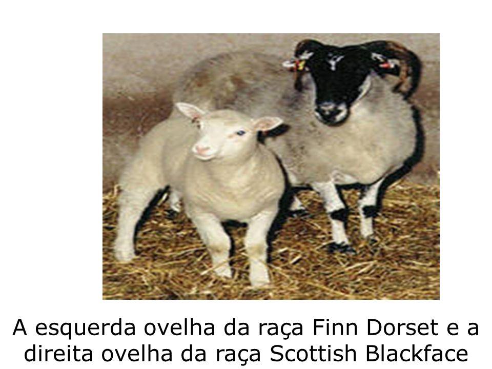A esquerda ovelha da raça Finn Dorset e a direita ovelha da raça Scottish Blackface
