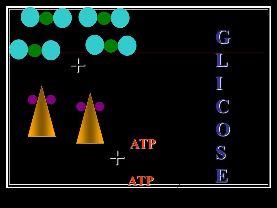 G L I C O S E + ATP + ATP