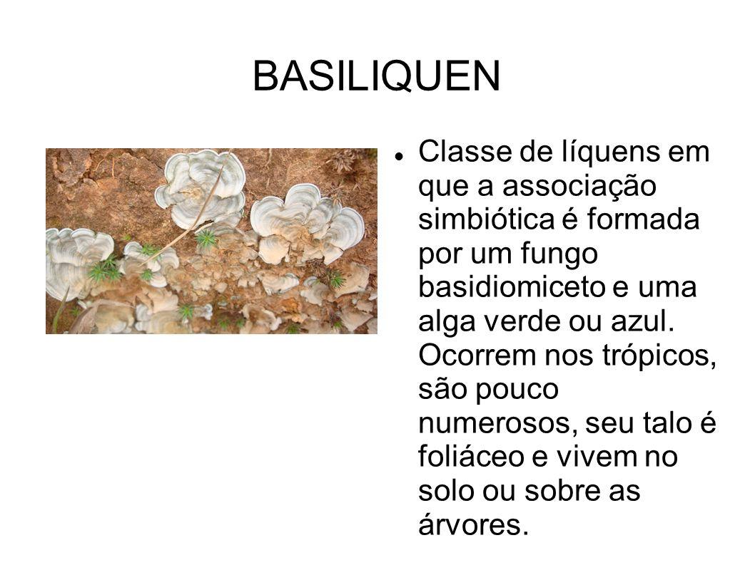 BASILIQUEN