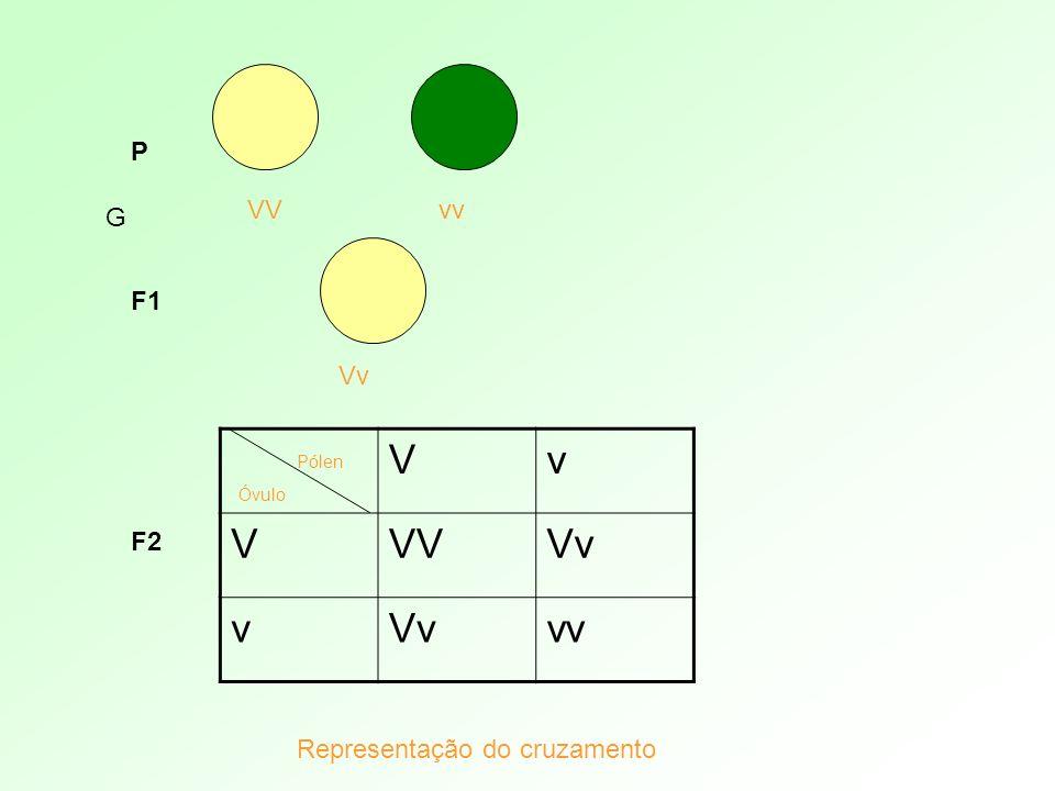 V v VV Vv vv P VV vv G F1 Vv F2 Representação do cruzamento Pólen