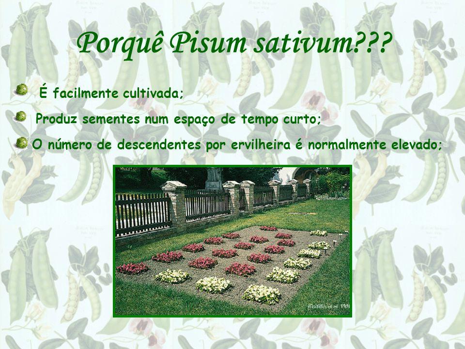 Porquê Pisum sativum É facilmente cultivada;