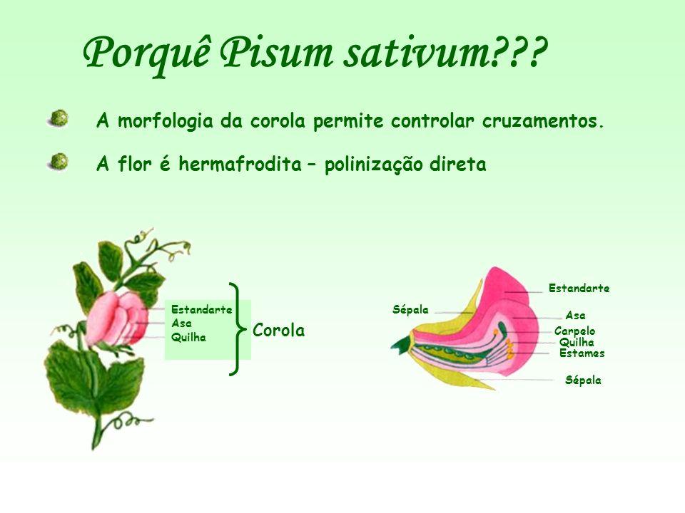 Porquê Pisum sativum A morfologia da corola permite controlar cruzamentos. A flor é hermafrodita – polinização direta.